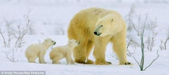 Семья белых медведей