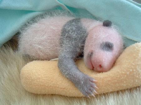 О развитии детеныша панды (15 фото)