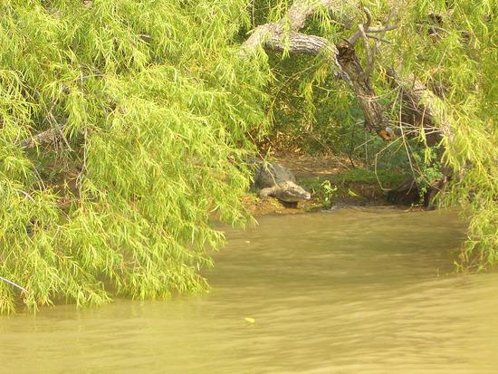 Крокодилы на улицах штата Tennessee (USA)